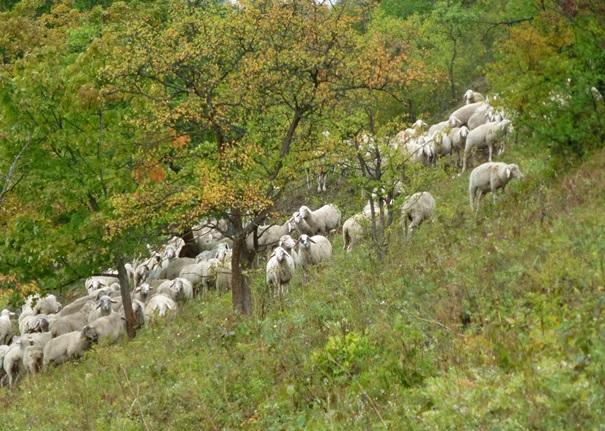 Schafe im Einsatz, auch wenn der Zaunbau aufgrund des Geländes zu aufwendig oder unmöglich ist (Foto: RAG Saale-Holzland, A. Schwarz)