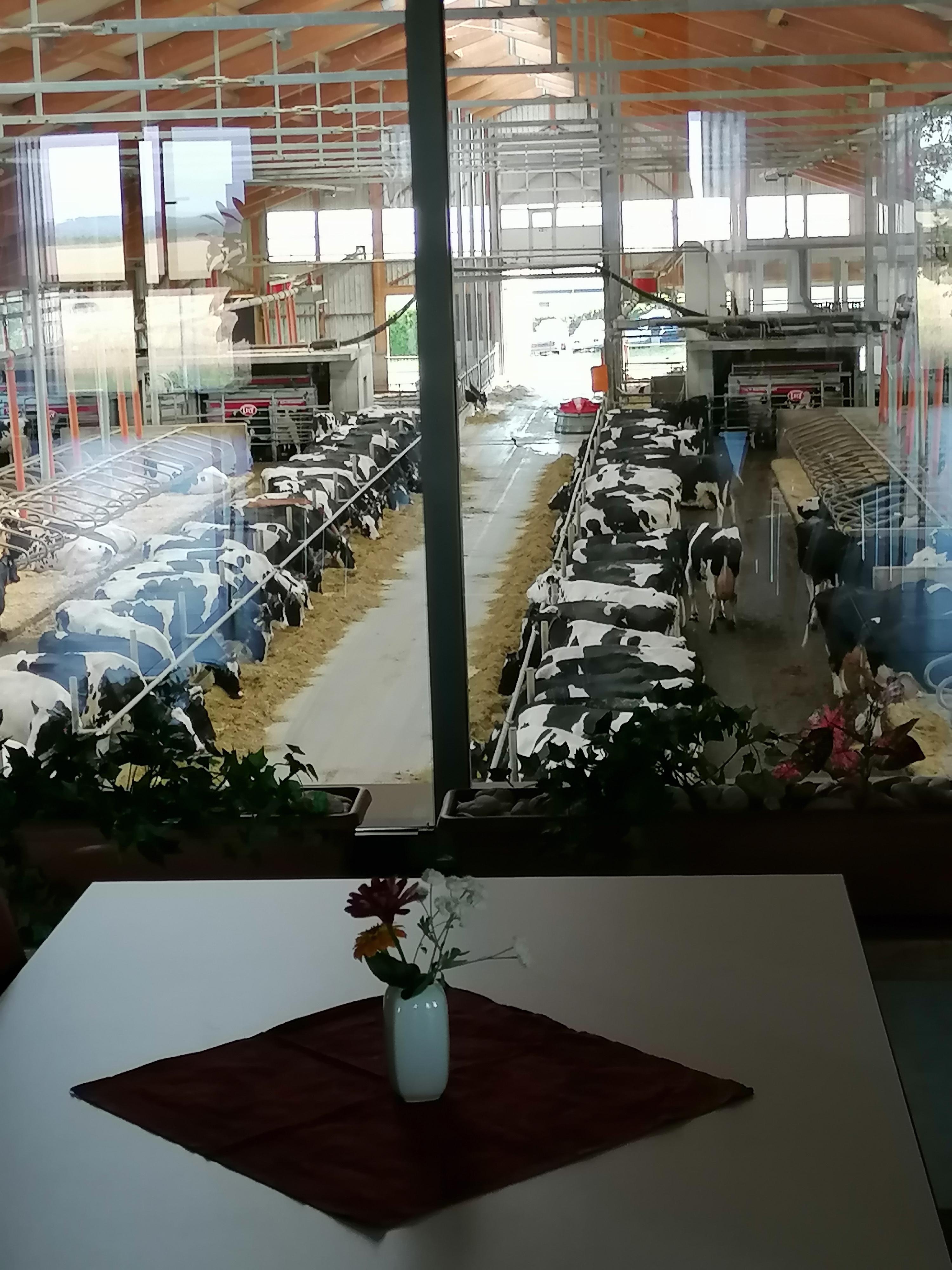 Blick vom Café in den Kuhstall (Quelle: Agrargenossenschaft Kauern eG)